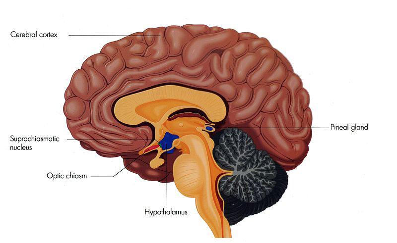 LIght therapy for Alzheimer's | Suprachiasmatic_Nucleus