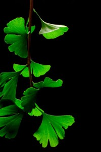 Alternative therapy for Alzheimer's |ginkgo_biloba_leaves